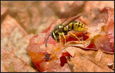Gewone Wesp/Common Wasp