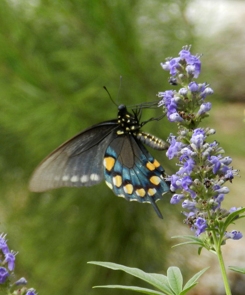 Swallow Tail on Vitex2.jpg