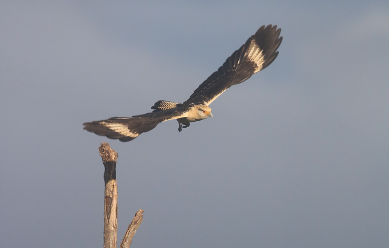 Hawk in Flight - Bird Watching in Costa Rica