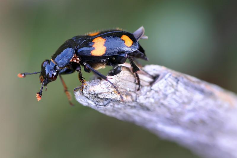 Beetle 6.jpg