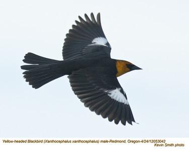 YellowHeadedBlackbirdM53042.jpg