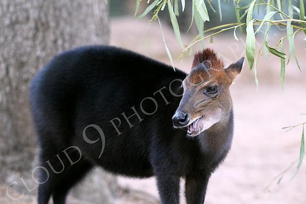 Black Duiker Wildlife Photography