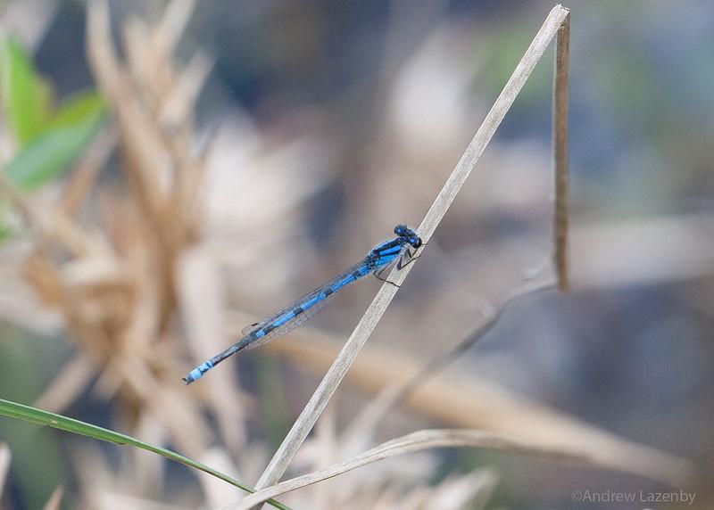 Blue Damselfly 2.jpg
