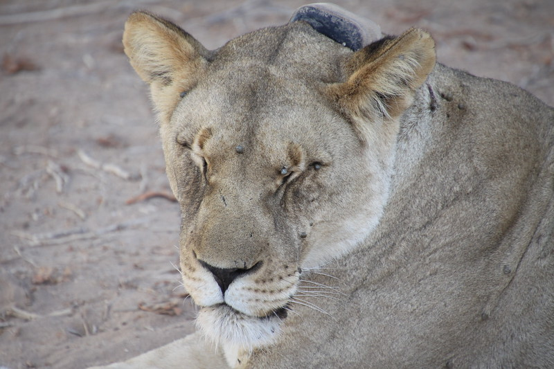 Desert lion can go two weeks without water