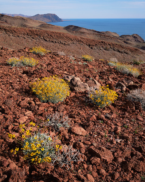 Desierto Central, Baja, MEX/California. Gulf coast near Puertecitos. Brittlebush (Encelia farinosa) dot the red lava flows with the Sea of Cortez in background.393v10