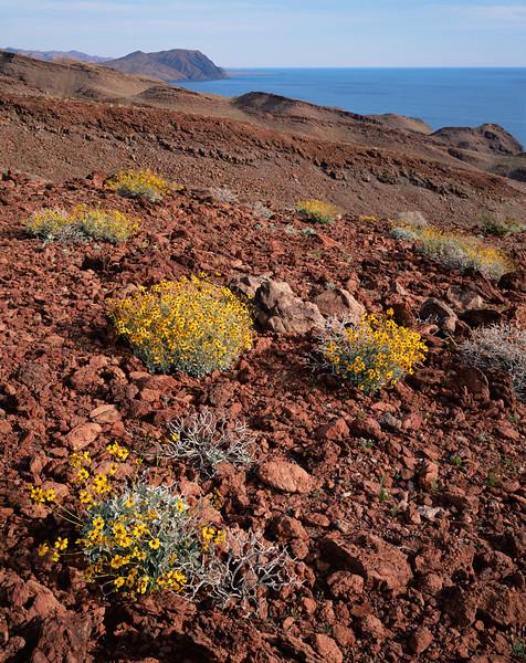 Desierto Central, Baja, MEX/California. Gulf coast near Puertecitos. Brittlebush (Encelia farinosa) dot the red lava flows with the Sea of Cortez in background.393v10