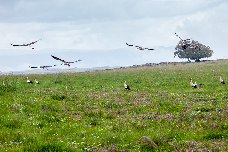 Big storks in the early morning on Golan Heights. Israel.