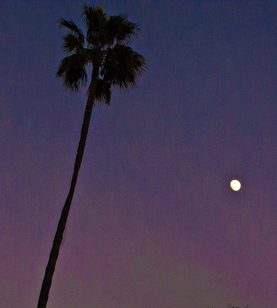 tall palm with moon.jpg