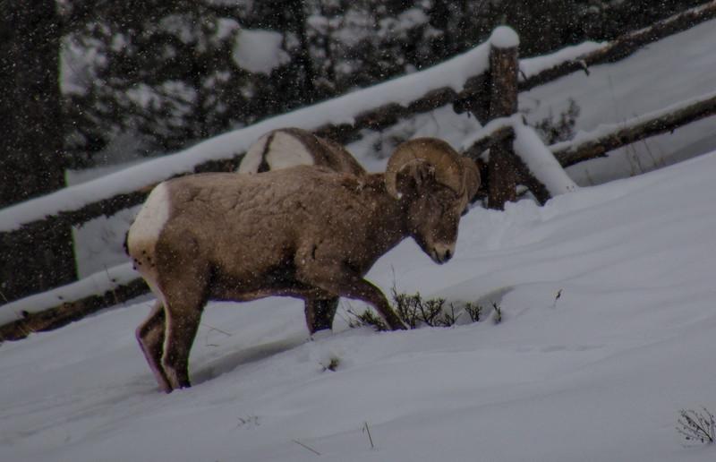 4576-2-Long Horn Sheep-©Yvonne Carter.jpg