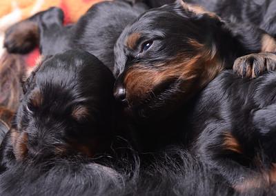 Gordon Setter puppies2
