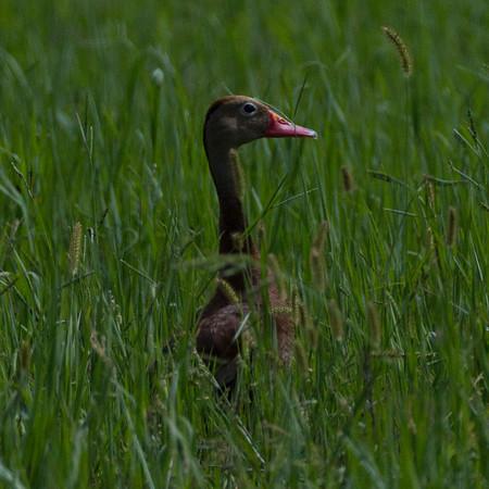Black-bellied Whistling-Duck Dendrocygna autumnalis