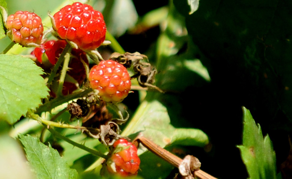 """. Arjo Adams grows raspberries at his St. Paul  home and \""""People\'s Park\""""  and says that people can pick them."""