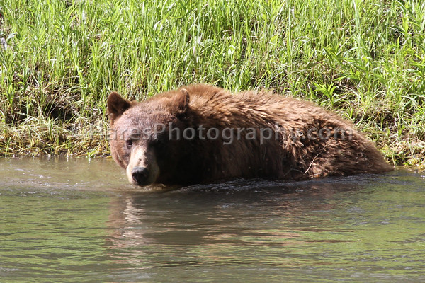 Yellowstone Spring Bears