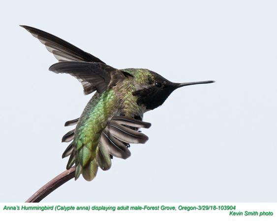 Anna's Hummingbird M103904.jpg
