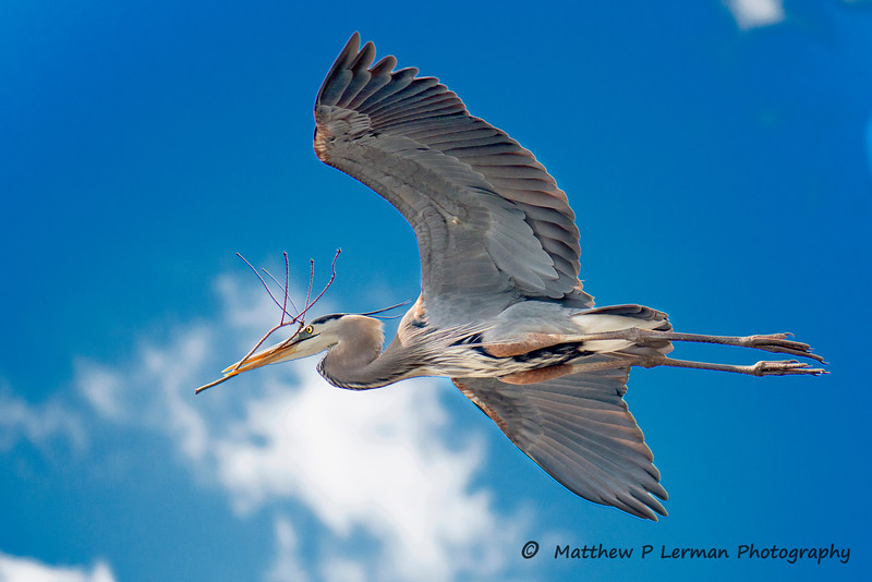 671 Great Blue Heron LoRes.jpg