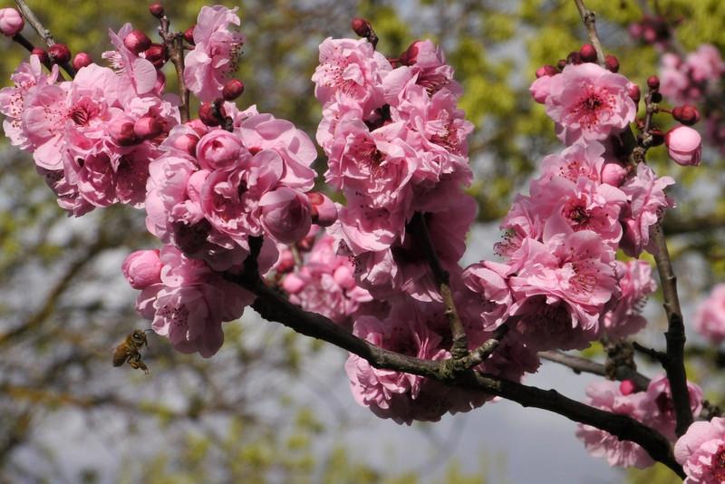 20130806_1214_9496 plum blossom