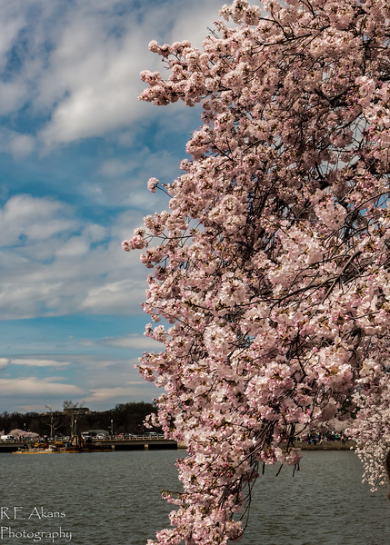 Blossums at Tidal Basin Mar2016 3-2.jpg