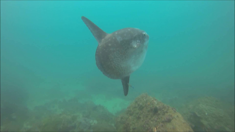 A surprise visitor at Cook Island 18 Jan 2015 - Mola Mola or sunfish