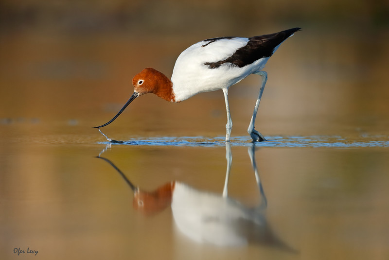 Red-necked Avocet feeding 2a MASTER.jpg