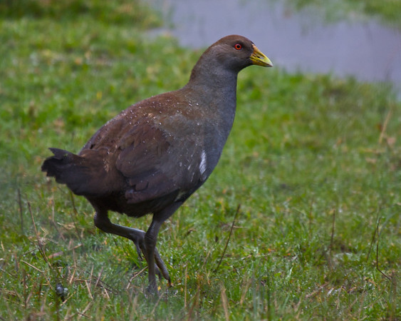 RALLIDAE Rails, Gallinules and Coots