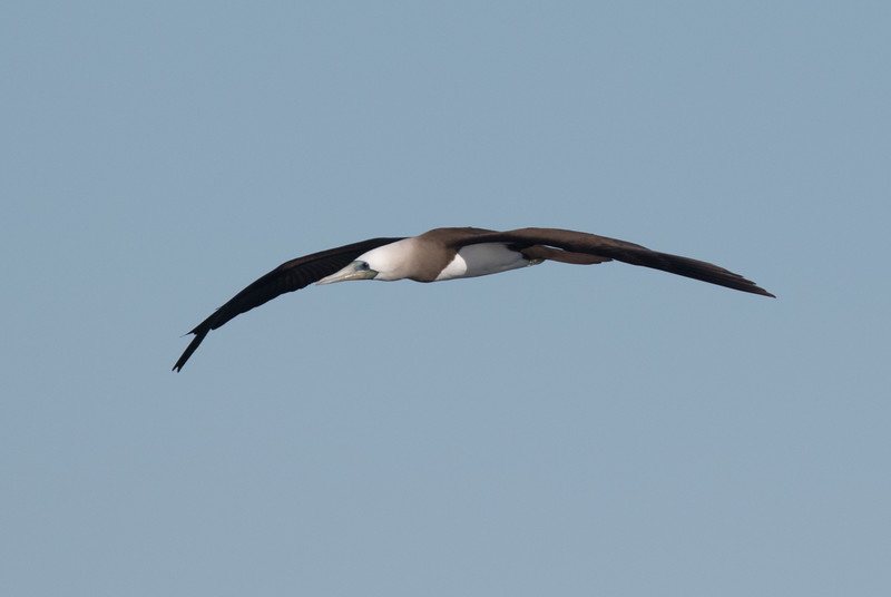 Brown Booby San Diego Waters 2019 01 01-1.CR2