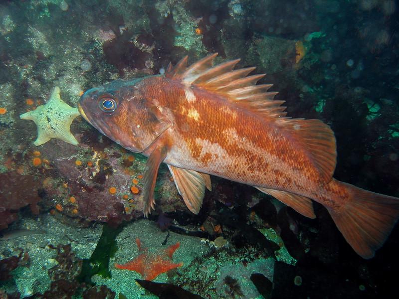 Big Copper cruising Forney's cove, Santa Cruz island, CA