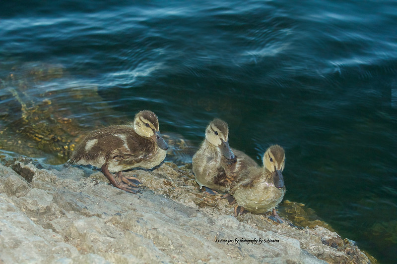 baby ducks at gull lake.jpg