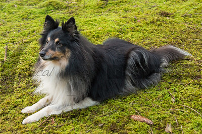 Carlile - Shelties