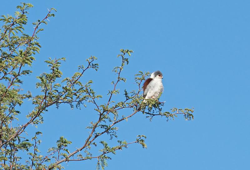 Pygmy falcon, Kgaligadi Transfrontier Park, South Africa