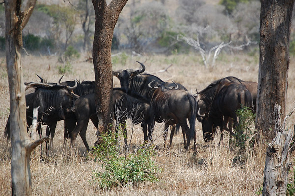 Kruger Wildebeest