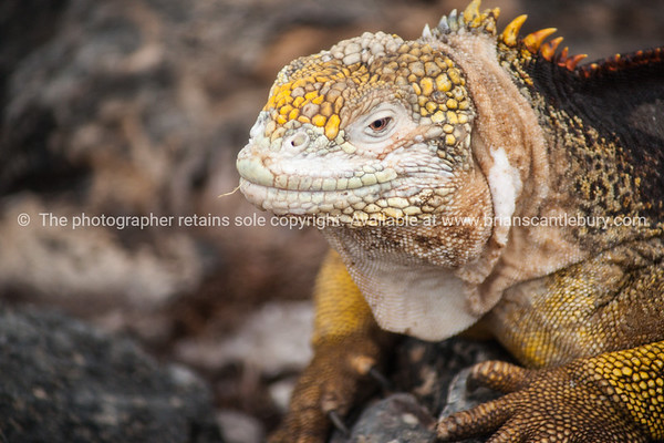 """Wildlife, landforms & landscapes of the Galapagos Islands. <br /> The Galapagos Land Iguana (Conolophus subcristatus)<br /> Photos, prints & downloads SEE ALSO:  <a href=""""http://www.blurb.com/b/3551540-galapagos-islands"""">http://www.blurb.com/b/3551540-galapagos-islands</a>"""