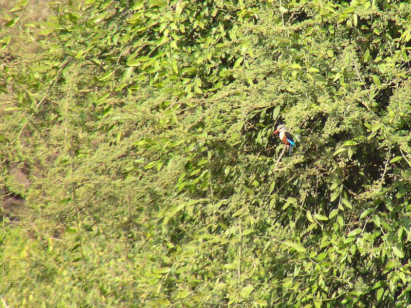 Grey-headed Kingfisher (Halcyon leucocephala)
