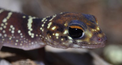 Underwoodisaurus milii  (Barking Gecko)