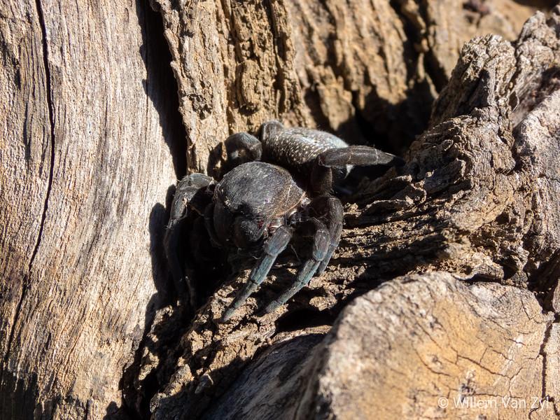 20190906 Velvet Spider (Eresidae family) from Stanford, Western Cape