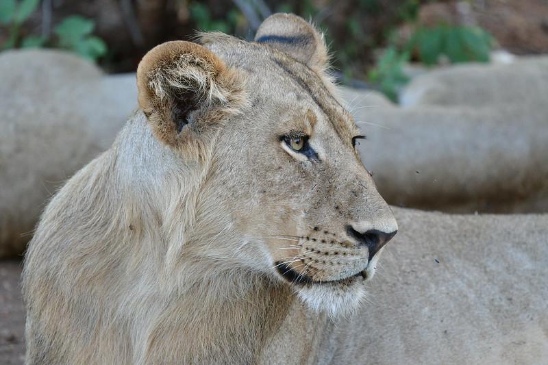Lioness Side Angle
