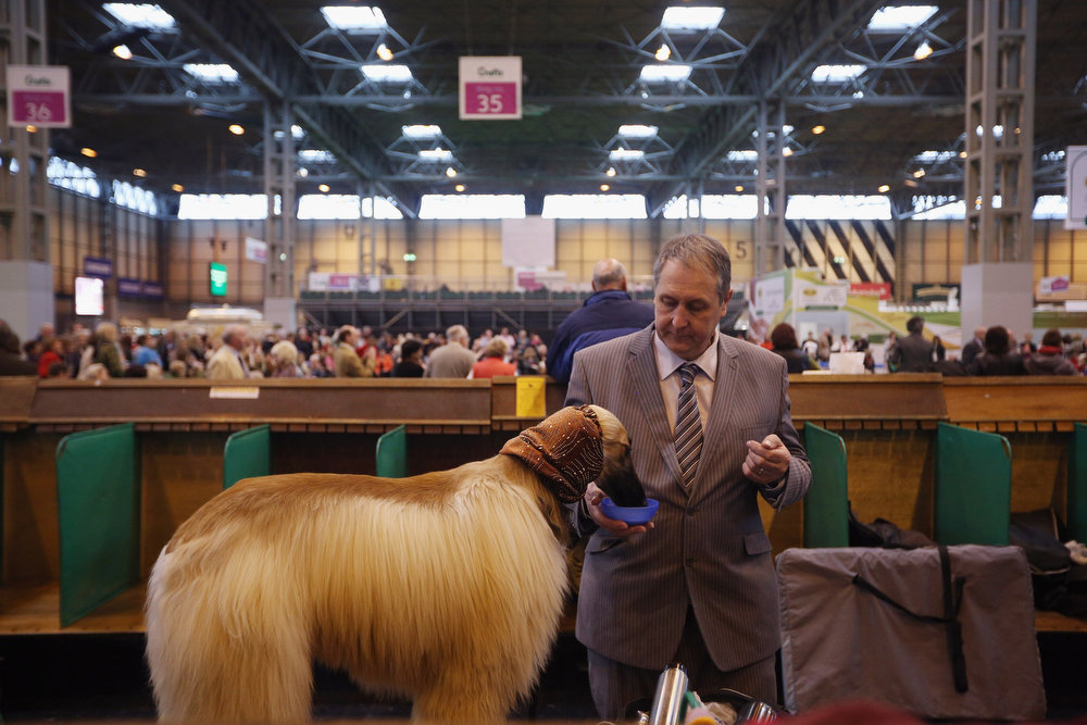 . BIRMINGHAM, ENGLAND - MARCH 07:  A man gives his Afghan hound a drink after being shown on the first day of Crufts dog show at the NEC on March 7, 2013 in Birmingham, England. The four-day show features over 25,000 dogs, with competitors travelling from 41 countries to take part. Crufts, which was first held in1891, sees thousands of dogs vie for the coveted title of \'Best in Show\'.  (Photo by Oli Scarff/Getty Images)
