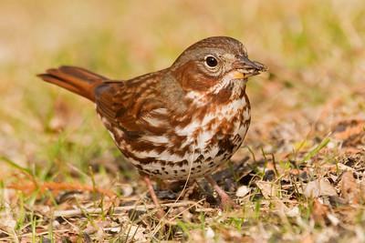 Sparrows - D-S
