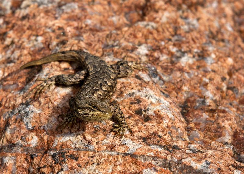 Curious Western Fence Lizard