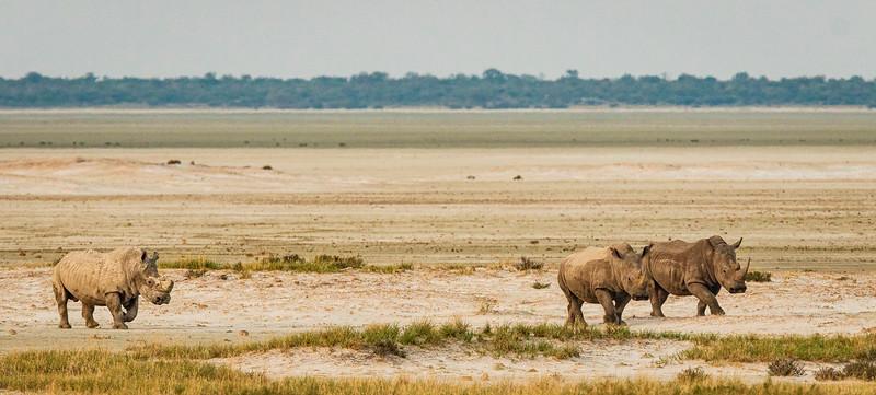 White rhino 1