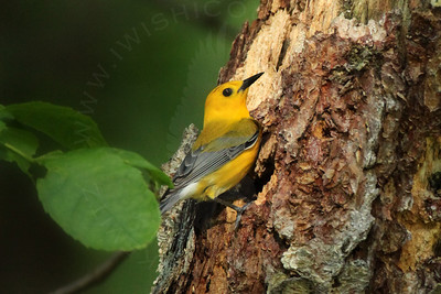 Warbler, Prothonotary [Nest Sites]