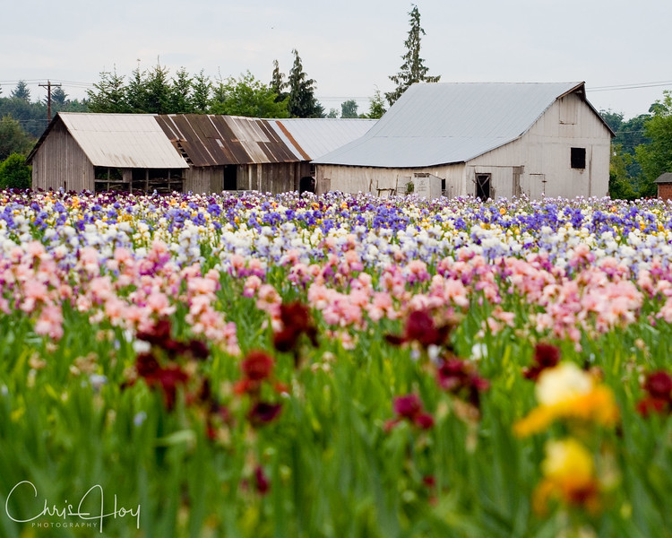 Another Iris Barn