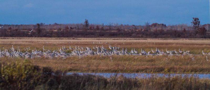 Sandhill Crane flock roosting at dusk Crex Meadows Grantsburg WI IMG_2251.jpg