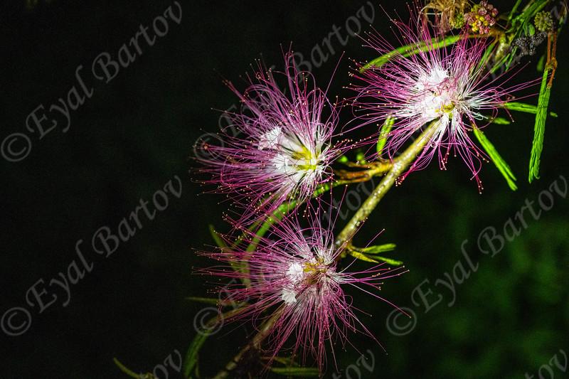 Costa Rica mimosa flowers on tree  EYL05587.jpg