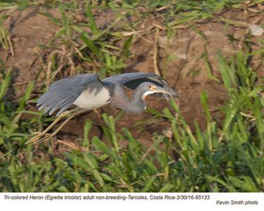 Tri-colored Heron A85133.jpg