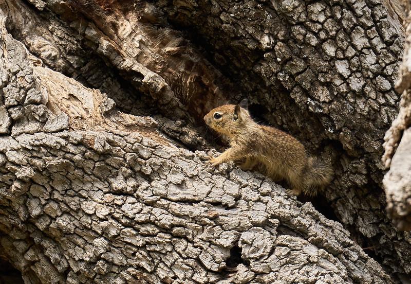 Baby Ground Squirrel