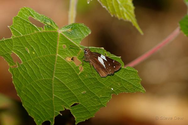 Skippers - Hesperiidae