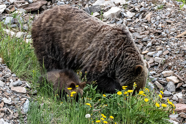7-21-20 Grizzly Bear Mom & 3 Cubs II