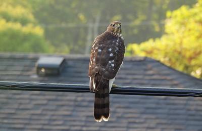 08.27.2021 Yard_Cooper's Hawk (immature)