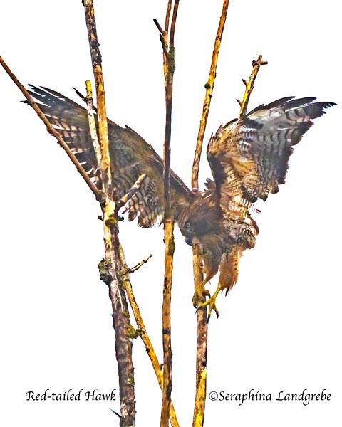 _DSC7127Red-tailed Hawk.jpg
