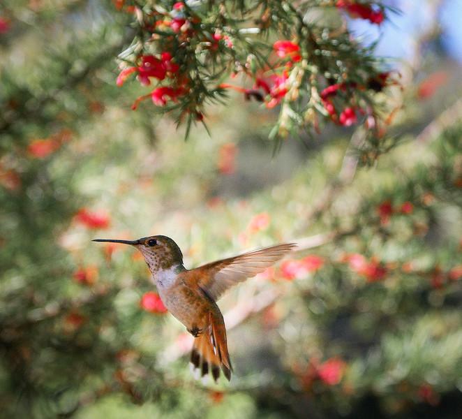 allans-hummingbird-grevillea-imgp7654_16382005304_o.jpg